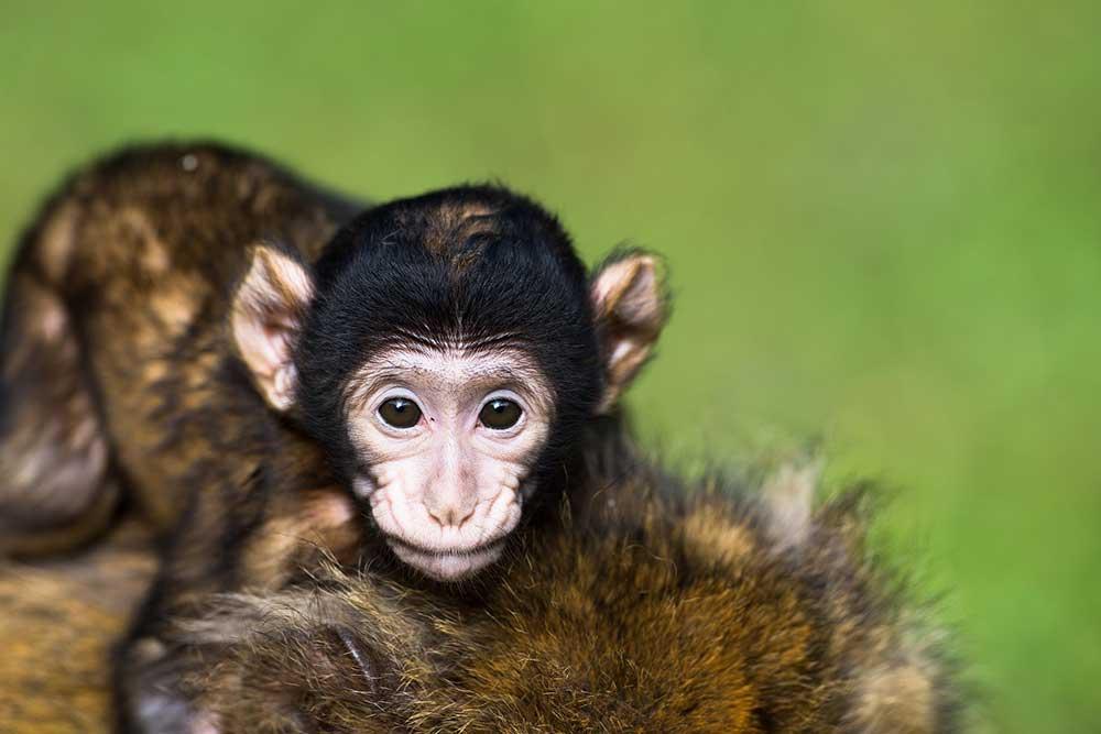 Affenbaby wird von seiner Mutter getragen - Affenberg Salem