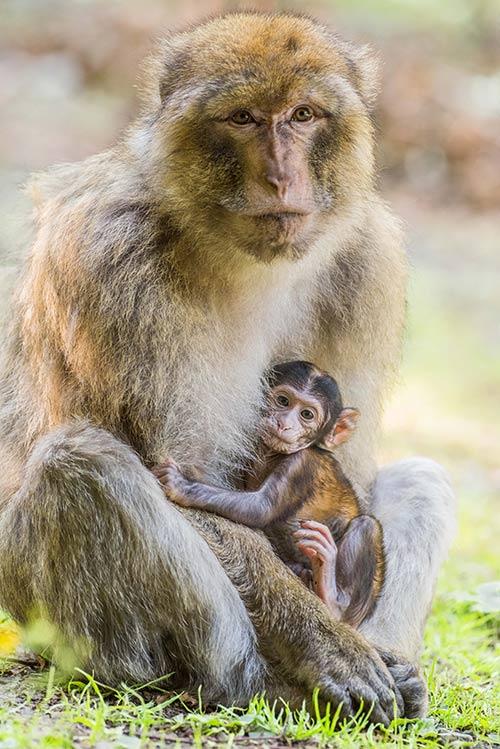 Affenmama mit ihrem Baby