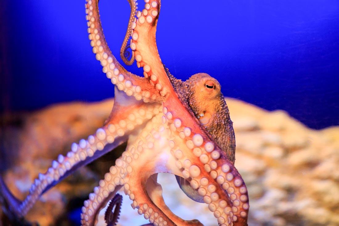 Oktopus - Sea Life Konstanz