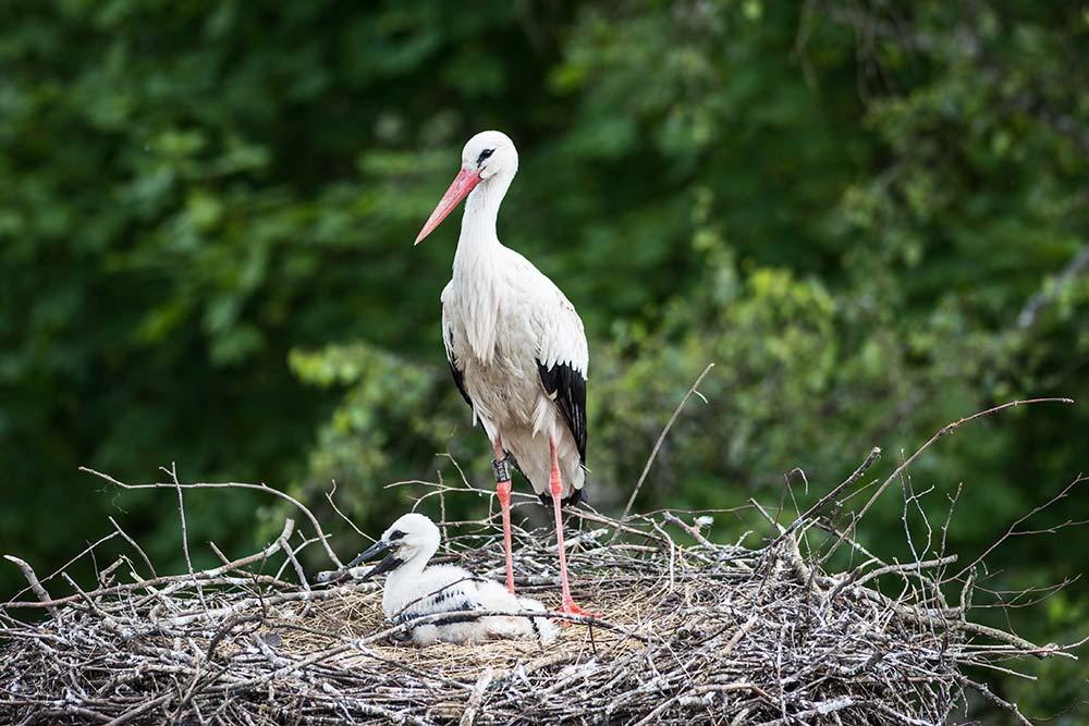 Storch im Nest auf dem Affenberg in Salem
